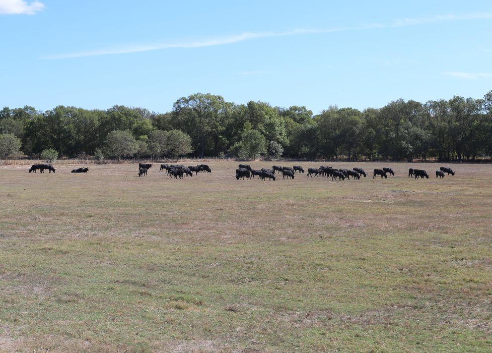 Élevage de taureaux